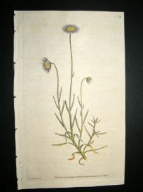 Curtis 1787 Hand Col Botanical Print. Bristly Leaved Aster #33,